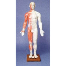 AM104 Human Body Model (33 inches)